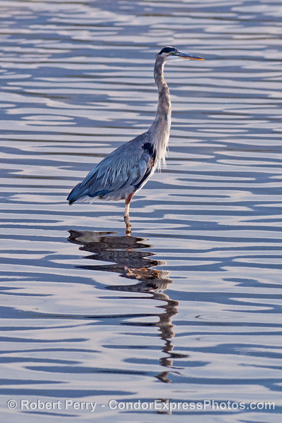 A great blue heron reflects on the morning.