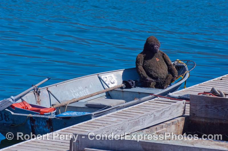 Gorilla in a skiff - bait barge, Santa Barbara Harbor.