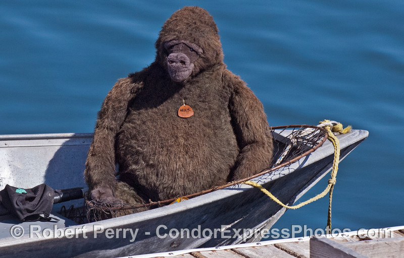 Close view -  Gorilla in a skiff - bait barge, Santa Barbara Harbor.