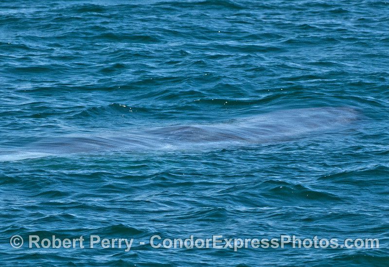 A submerged giant blue whale.
