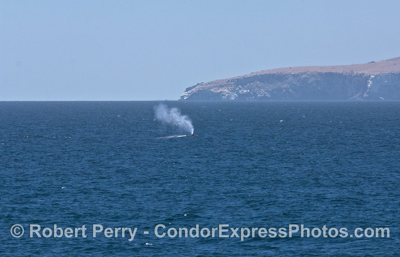 Smoke from the ocean - a blue whale spouts in the breeze with Cavern Point, Santa Cruz Island in the back.