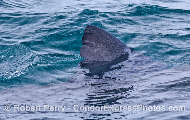 Dorsal fin of a large basking shark.