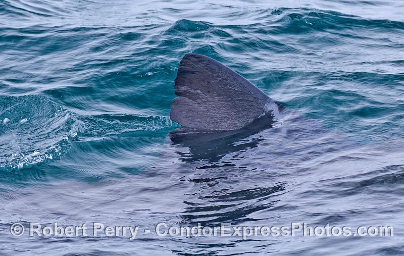 Dorsal fin of a large basking shark.