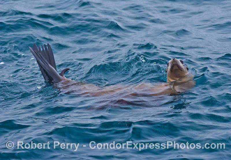 """A """"whole body"""" photo of a curious California sea lion."""
