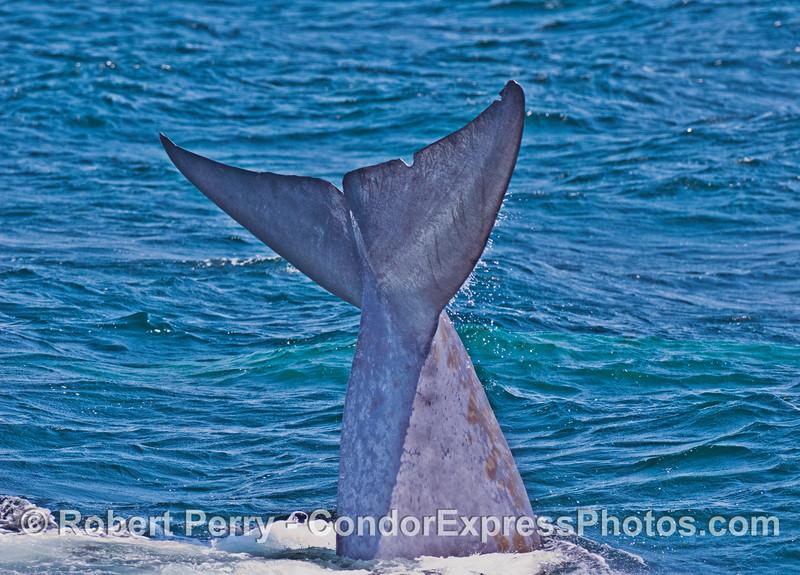 Blue whale tail flukes - massive !