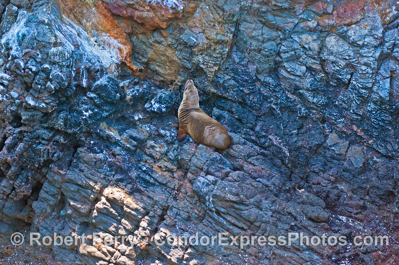 An agile California sea lion pup rests on the sea cliffs of Santa Cruz Island.
