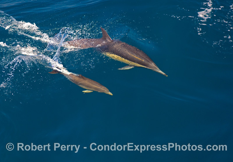 Mother and her calf - common dolphins surfing.
