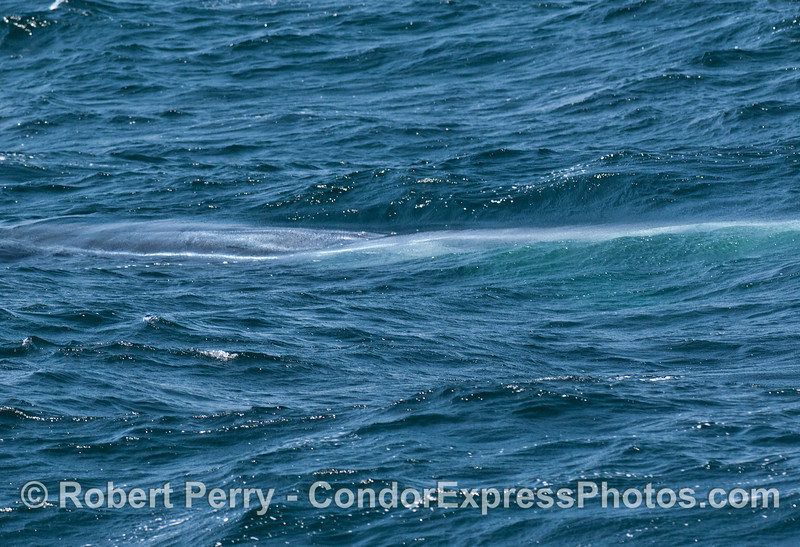 Sunlight hitting a submerged blue whale's flanks.