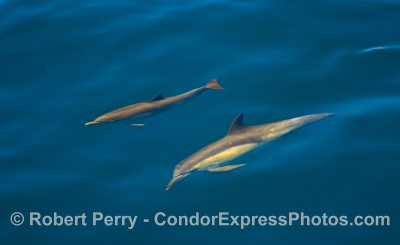 Mother and her calf - common dolphins.