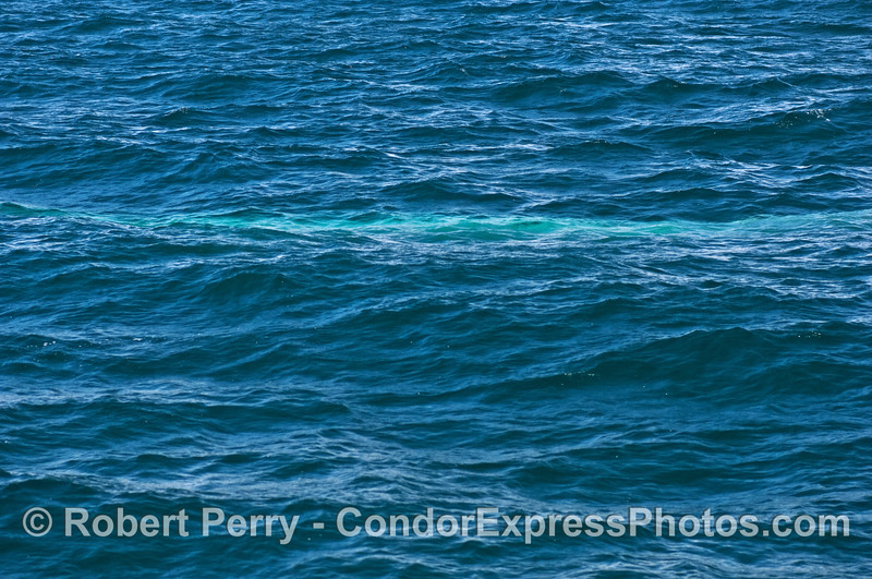 The Blue Streak.  A blue whale travels beneath the waves.