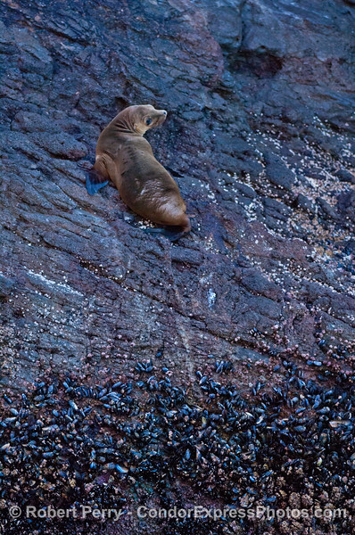 A California sea lion high on the sea cliffs of Santa Cruz Island.
