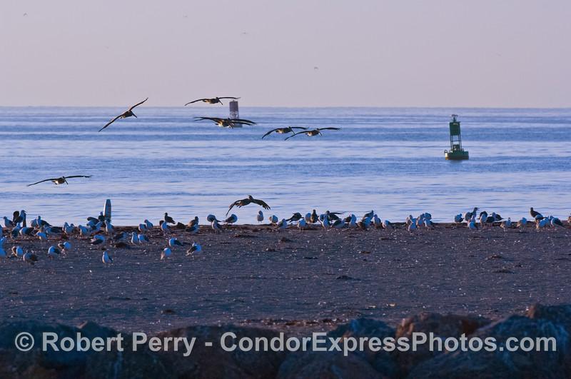Pelecanus occidentalis silhouettes dawn in flight 2007 09-08 Sta Barbara Hbr-010