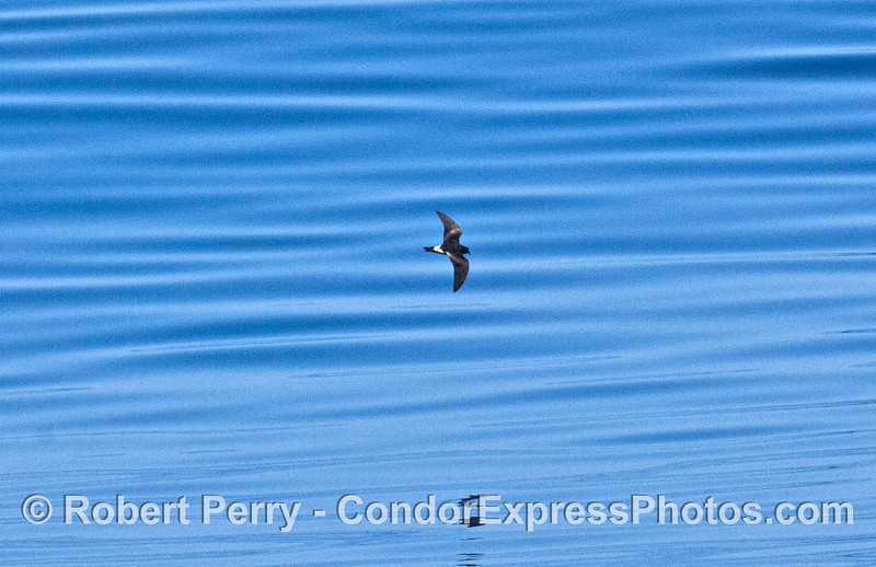 Oceanodroma leucorhoa Leechs Storm Petrel blue water 2007 09-08 So Calif Bight-007