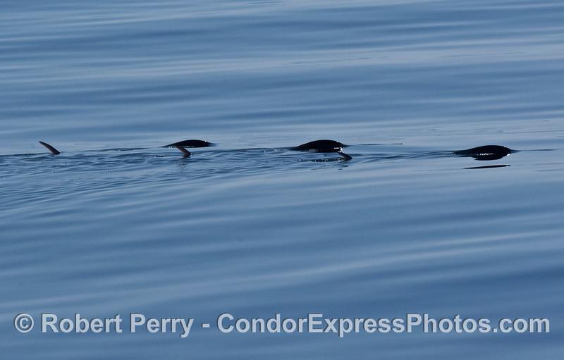 Tetrapturus audax THREE Striped Marlin glassy blue water 2007 09-08 So Calif Bight-012