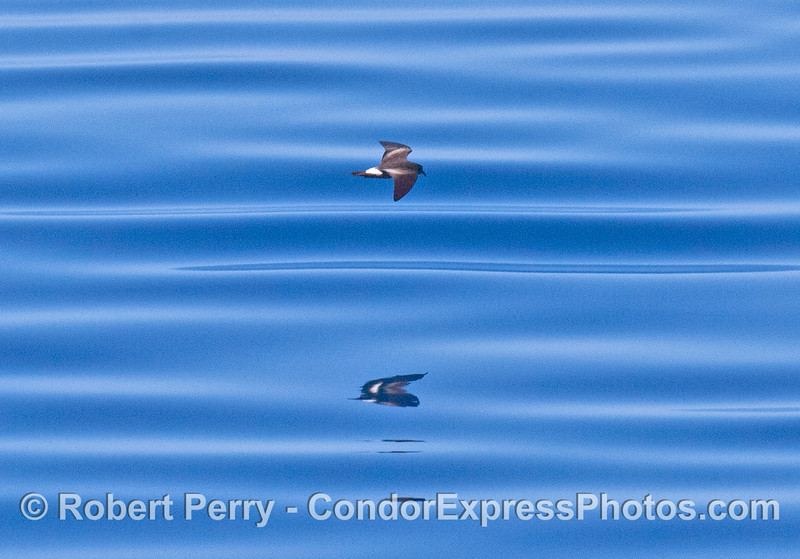 Oceanodroma leucorhoa Leechs Storm Petrel blue water 2007 09-08 So Calif Bight-015