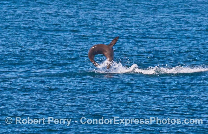 Zalophus jumping antics 2007 09-08 So Calif Bight-008
