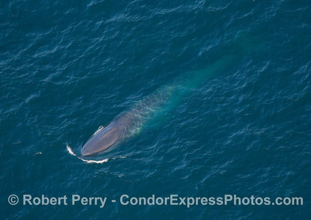 Balaenoptera musculus from AIR 2007 09-15 AIR SB Channel-159modCROPsmall