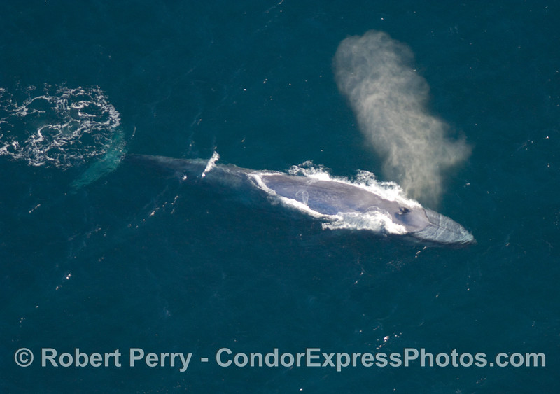 Balaenoptera musculus from AIR 2007 09-15 AIR SB Channel-321modCROPsmall