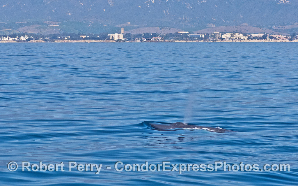 Blue whale with UCSB in the background