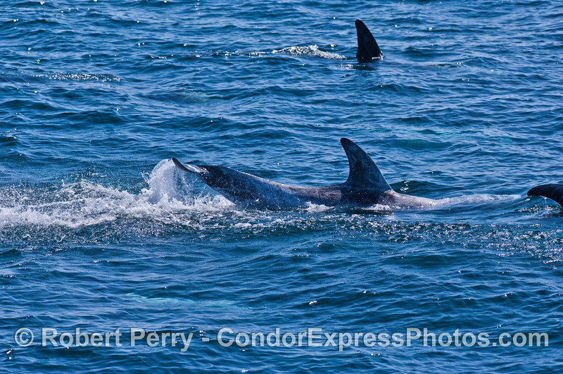 Tail slapping Risso's dolphin