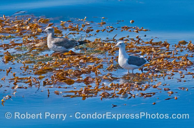 Gulls rest on an open ocean drifting giant kelp paddy