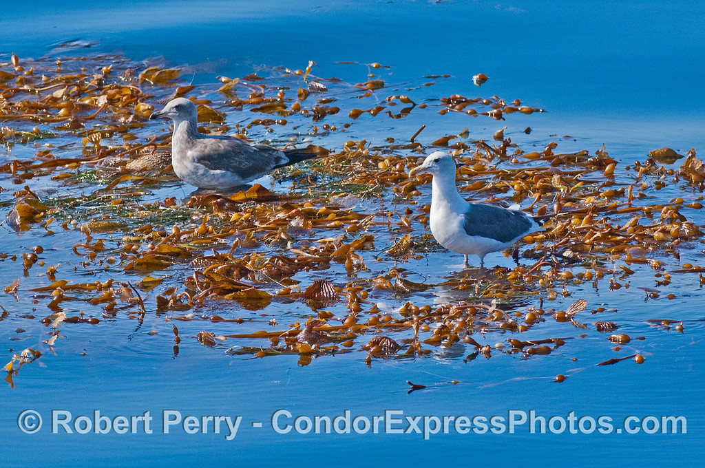 Gulls rest on an open ocean drifting giant kelp paddy