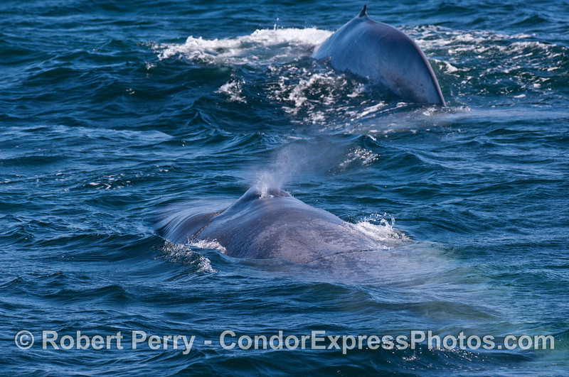 Two Blue whales