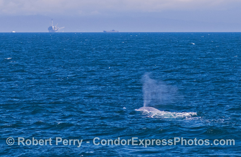 Blue whale, Platform Habitat and a tow boat pulls a barge.
