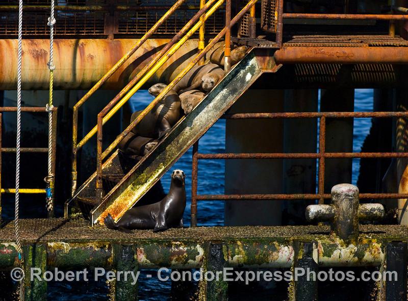 California sea lions enjoy resting in the sun on offshore oil platform Habitat