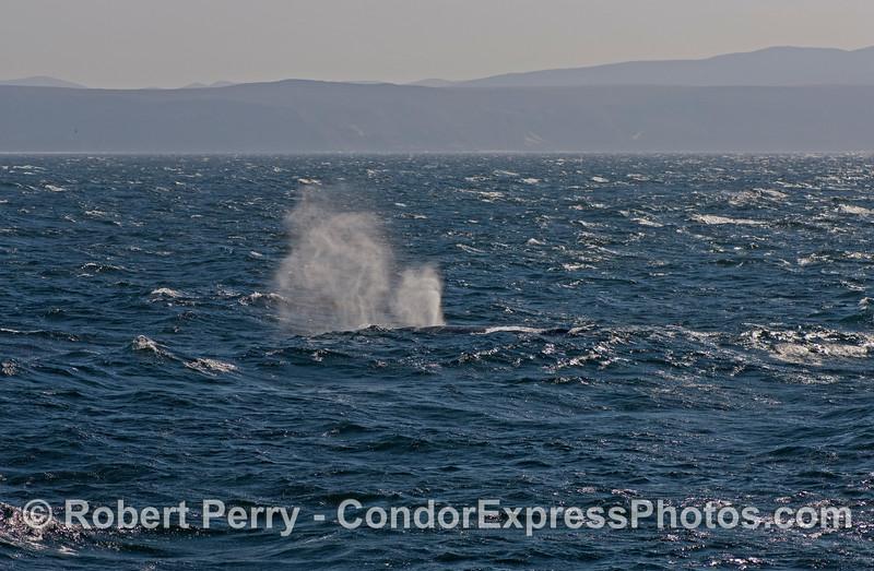 Megaptera novaeangliae spouts in the wind Sta Rosa backgd 2007 11-10 SB Channel--1225