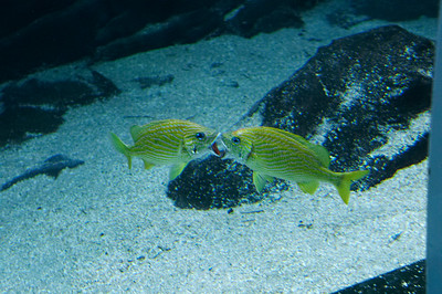 The making-out-facial-orientation problem is even harder when you're a fish