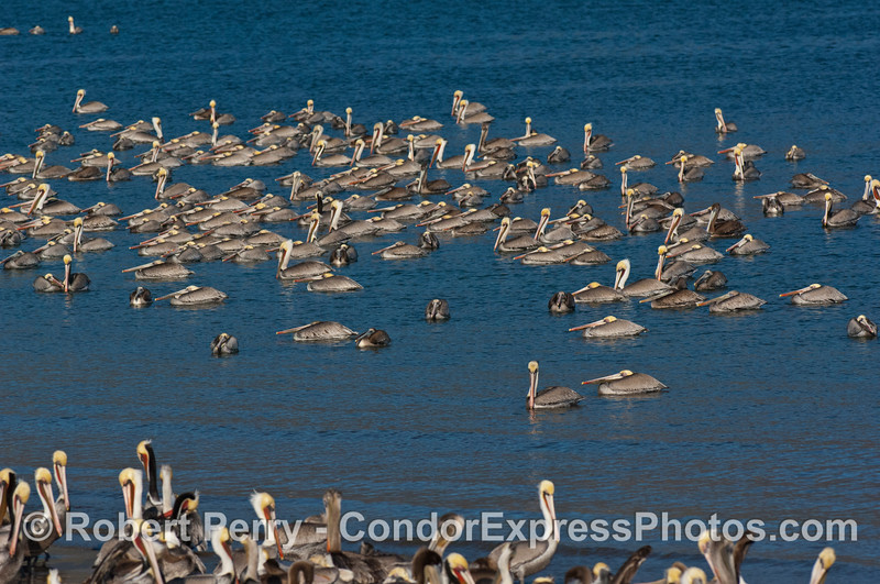 Pelecanus occidentalis masses 2007 12-16 SB Harbor--040