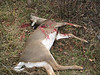 Jason\'s second deer of opener. Small doe. Shot at about 3:00 pm.