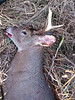 Justin\'s first deer of opener morning. Shot at about 9:15 am. 4 point buck w/ arrow in shoulder. Ran right at us while I was dressing my deer. Shot on the run.
