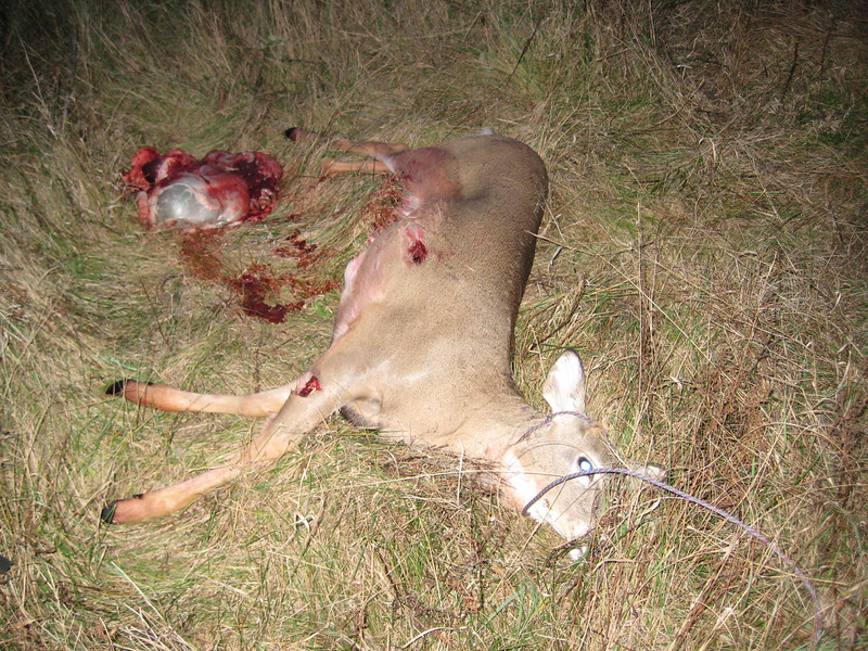 Jason\'s third deer of opening day. Nubbin buck. Shot at about 4:30 pm.