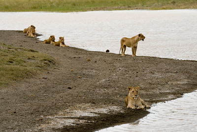 Ngorongoro Crater; 3 females and 3 young males crossing a river