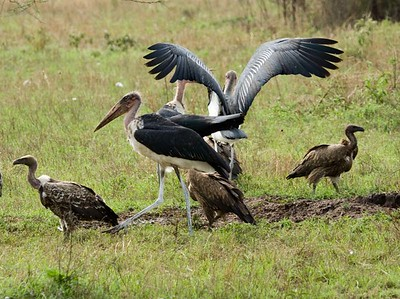 Marabou Stork, White Backed Vulture