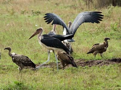 Marabou Stork, White Backed Vulture