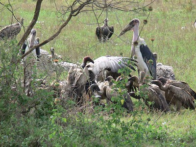 Marabou Stork, White Backed Vultures, others ... (Rueppell's Griffon ?, Lappet Faced Vulture ?)