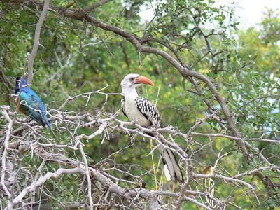 Superb Starling, and Jackson's Hornbill