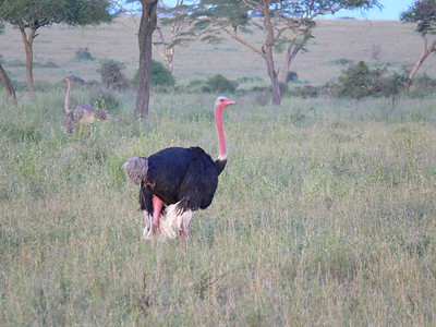 Male Ostrich (mating plumage) and Female Ostrich in background
