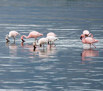 Greater and Lesser Flamingo (pink body = lesser)