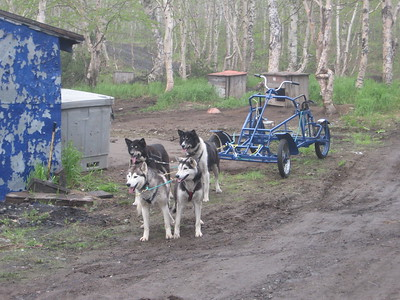 Dog team at Sergey's kennel - Andrew Gossen