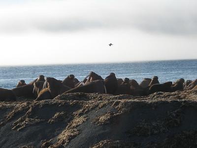 walrus - Andrew Gossen