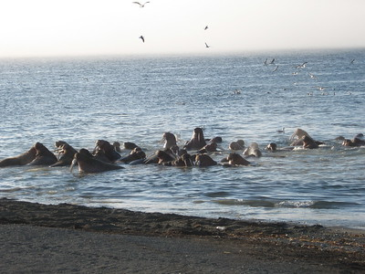 walruses in water - Andrew Gossen
