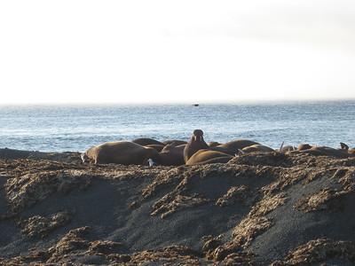 walruses - Andrew Gossen
