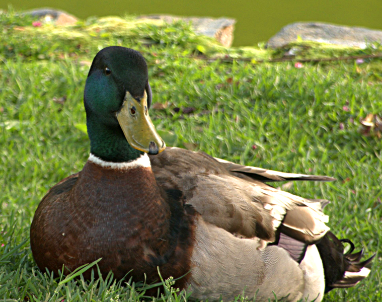 A beautiful Mallard Duck. <br /> <br /> Halifax Public Gardens, Nova Scotia.<br /> June 2007.