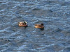 "American Wigeon (Anas americana)   Male (in breeding plumage)  and female.  Also known as American Widgeon or Baldpate is a species of wigeon in the dabbling duck genus Anas. If this is split up, all wigeons will go into their old genus Mareca again. It is a common and widespread duck which breeds in all but the extreme north of Canada and Alaska and also in the Interior West through Idaho, Colorado, the Dakotas, and Minnesota, as well as eastern Washington and Oregon. It is the New World counterpart of the Eurasian Wigeon. The conservation status of this bird is Least Concern.  This dabbling duck is migratory and winters farther south than its breeding range in the southern half of the United States, Idaho, Washington, Oregon, and the Mid-Atlantic coastal region, and further south into Central America and northwestern South America. It is a rare but regular vagrant to western Europe. It is highly gregarious outside of the breeding season and will form large flocks.  The breeding male has pinkish flanks and breast back with a black rear end and a brilliant white patch on their wings behind their dark green speculum - obvious in flight or at rest. It has a greyish head with a green auricular and a whitish crown stripe. Their belly is also white. It is 45-56 cm (18-23 inches) long, with a 32 inch wingspan and a weight of 1.6 pounds. This wigeon has two adult molt per year and a juvenile molt in the first year as well.  The females are light brown, with plumage much like a female Mallard. The wing patch behind the speculum is gray. They can be distinguished from most ducks (apart from Eurasian Wigeon) by shape. However, that species has a darker head and all grey underwing. The head and neck coloring of the female is different as opposed to the Eurasian Wigeon.  In non-breeding (eclipse) plumage, the drake looks more like the female.  It is a bird of open wetlands such as wet grassland or marshes with some taller vegetation and usually feeds by dabbling for plant food or grazing which it does very readily. It nests on the ground near water and under cover. It lays 6-12 creamy white eggs. Flocks will often contain American Coots.  This is a noisy species. The male has a clear whistle in three syllables: whoee-whoe-whoe, whereas the female has a low growl qua-ack. Source: <a href=""http://en.wikipedia.org/wiki/American_Wigeon""> Wikipedia.org </a>.  Halifax Harbour, Nova Scotia  09 March 2007."