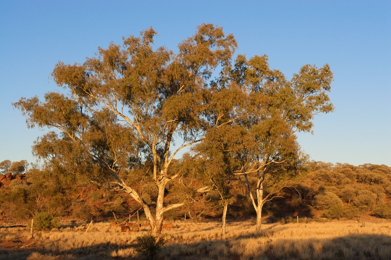 Sunrise in the Outback • The rising sun tints the gum trees and hills orange at Old Angas Downs cattle station, about 220km south-west of Alice Springs.