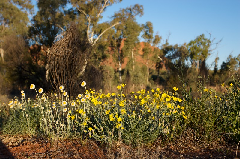 Flowers • Flowers in the late-afternoon sunlight below King's Canyon in the Watarrka National Park (Northern Territory).